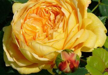 La Rose du Bonheur