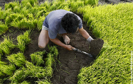A Philippine farmer plants rice.
